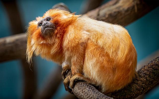Monkey on the Ropes