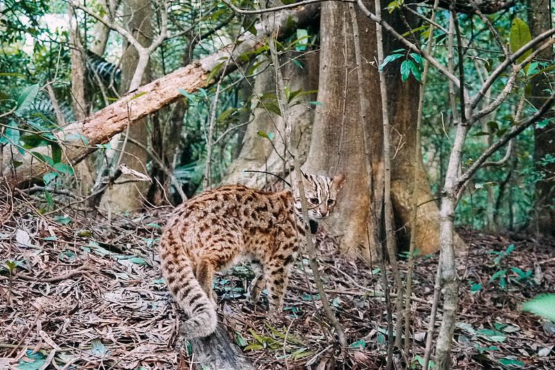 石虎的棲息於淺山地區,接近人類聚落。資料照片,陳美汀提供。