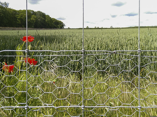 Poppies and wheat LRM_20190609_110546