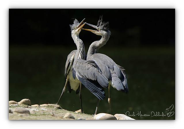 Hérons cendrés juvéniles - Grey Heron