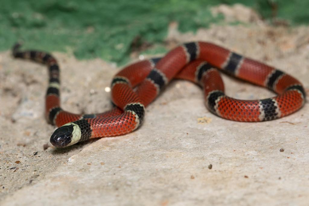 Painted Coral Snake (Micrurus corallinus)