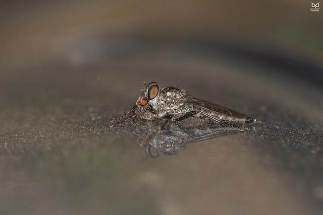 Mosca Assassina, Robber fly (Diptera Asilidae)