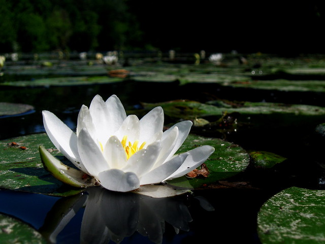 Water lily - water lily, Nymphea. Psel River, Lebedin, Sumy region. Ukraine.