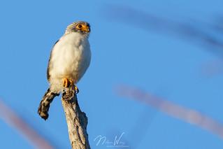 White-rumped Falcon (Polihierax insignis) 白腰侏隼