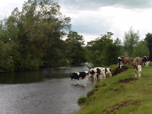 Bullocks in the Stour