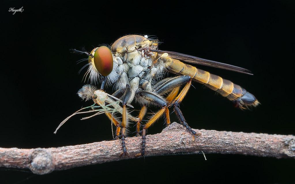 Robberfly with midge