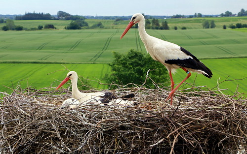 Stork family reunited, two adults and three chicks