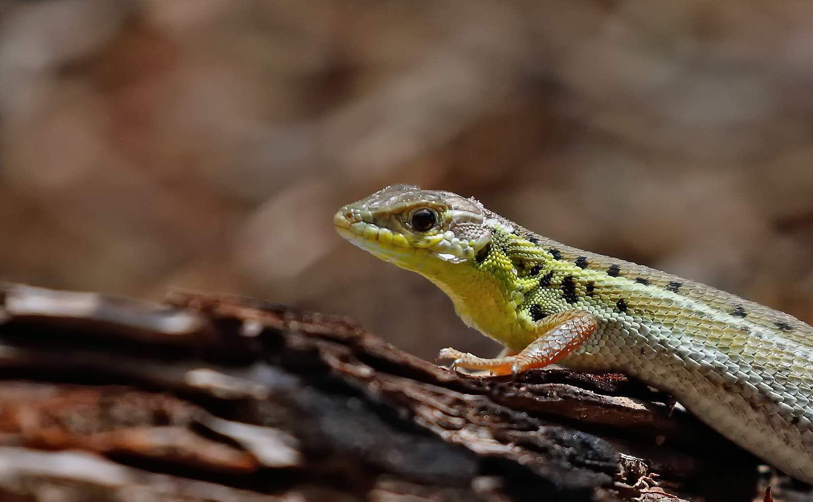 Snake-eyed Lizard