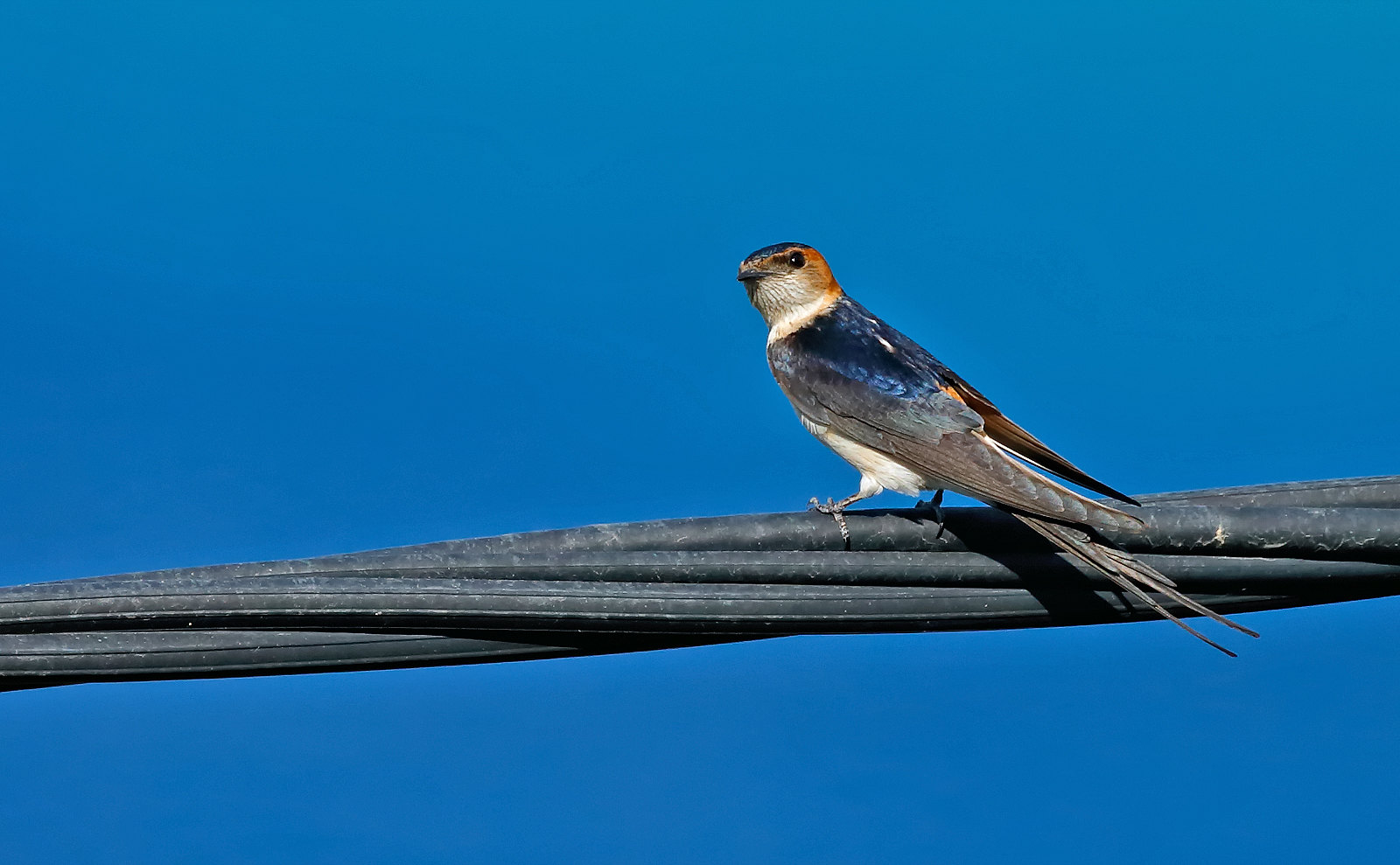 Red-rumped Swallow - female