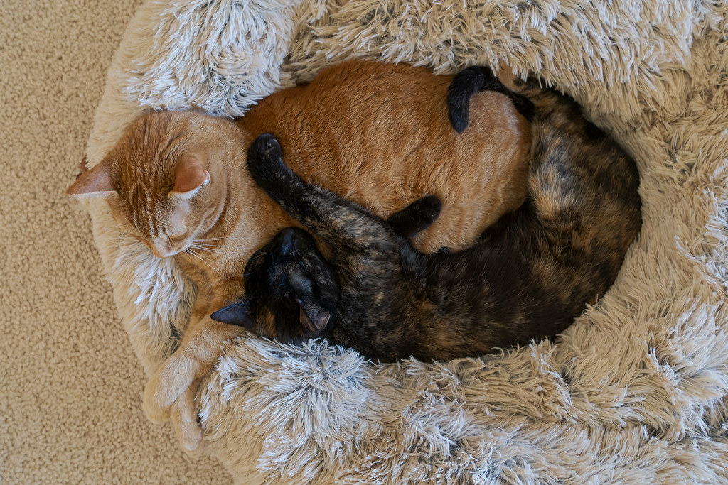 Our cat Trixie sleeps curled up on top of our cat Sam in her favorite cat bed in June 2019