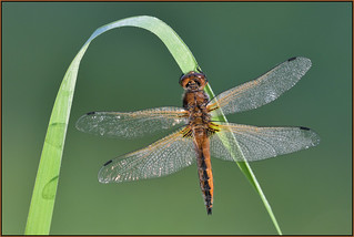Scarce Chaser (image 1 of 2)