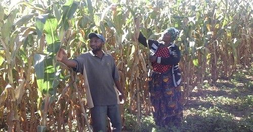 Magoda and his wife inspecting their maize field. Photo credit: Frednand Japhet/IITA.
