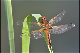 Scarce Chaser (image 2 of 2)