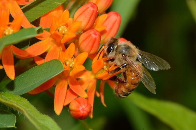 Honey Bees on Orange Milkweed