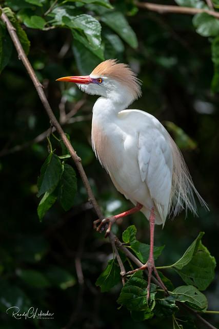 Cattle Egret - Bubulcus ibis   2019 - 2