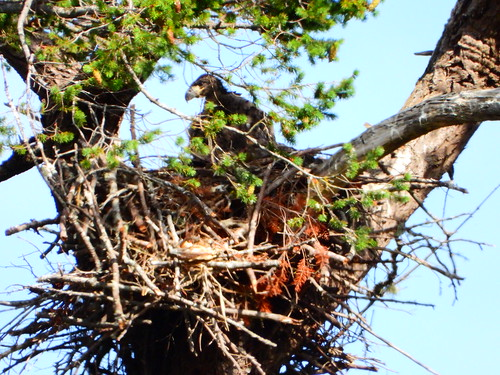 june 9 2019 17:18 - Eaglet on the Nest! | by boonibarb