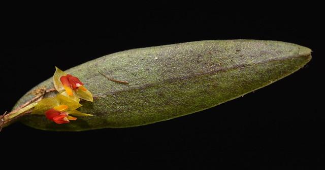 Microorchid, Guatemala