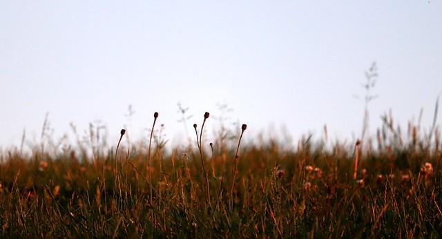 Golden grass III