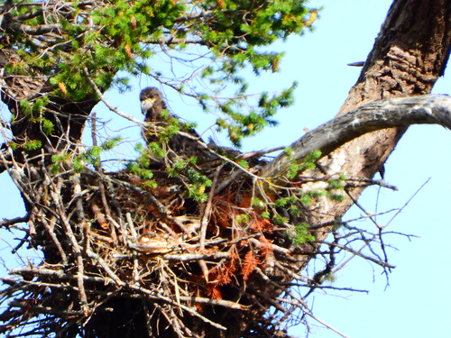 june 9 2019 17:21 - Eaglet on the Nest! | by boonibarb