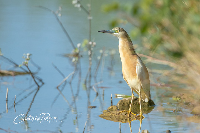 Crabier chevelu - Ardeola ralloides (Domaine Des Oiseaux, Ariège) 08 juin 2019
