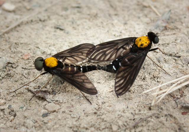 Golden-backed snipe fly