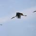Landeanflug zum Horst · Landing approach to the nest