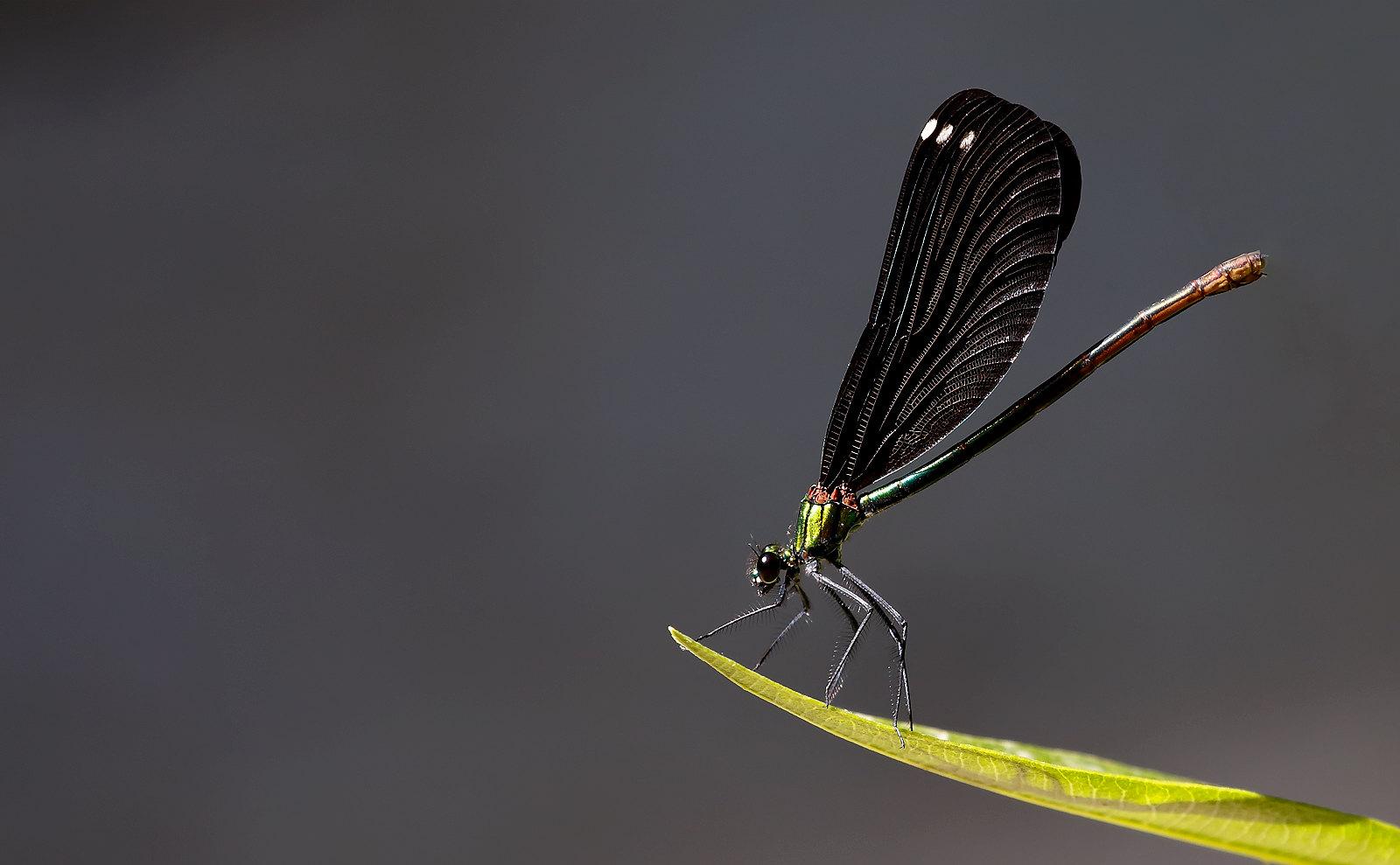 Beautiful Demoiselle - female