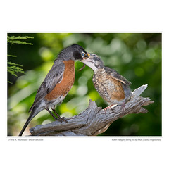 Fledgling Robin being fed by an adult (Turdus migratorius)