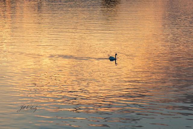Swan Sunset on The Rhine