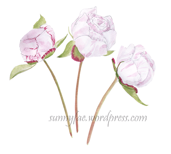 sketch of 3 peony buds as they open.