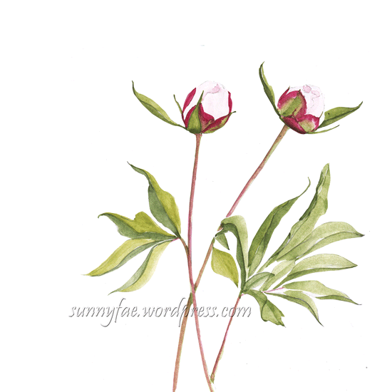 watercolour peony buds