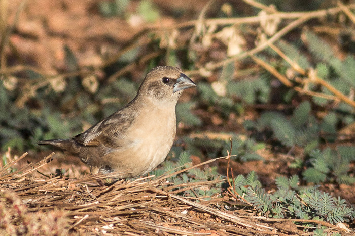 Pictorella Mannikin  - juvenile