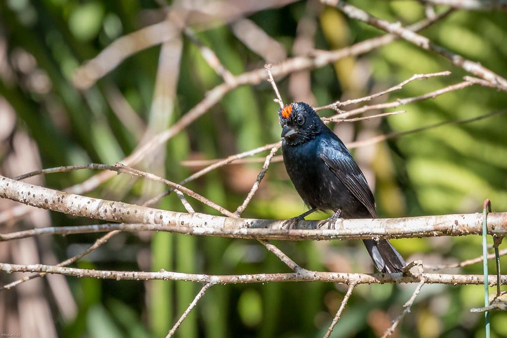 tiê-preto (Tachyphonus coronatus)