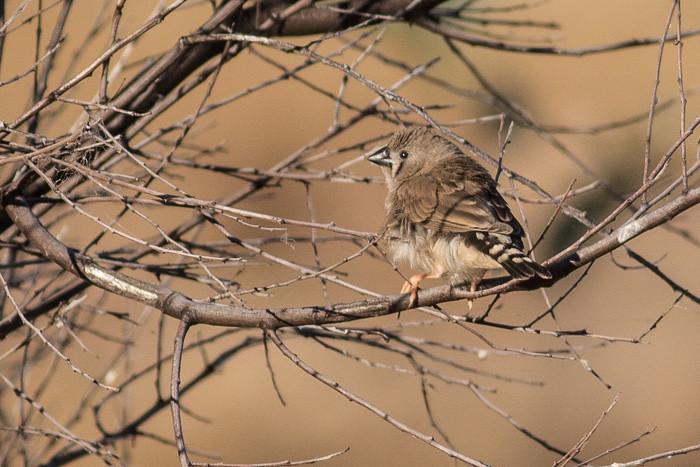 Zebra Finch   - juvenile