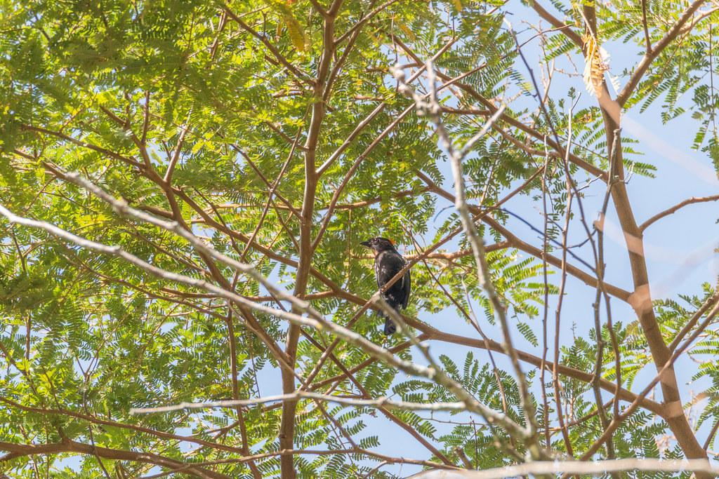 tiê-galo (Tachyphonus cristatus)