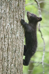 Determined Little Bear-Cades Cove, TN