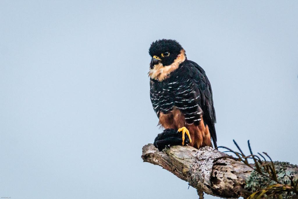 Cauré (Falco rufigularis)