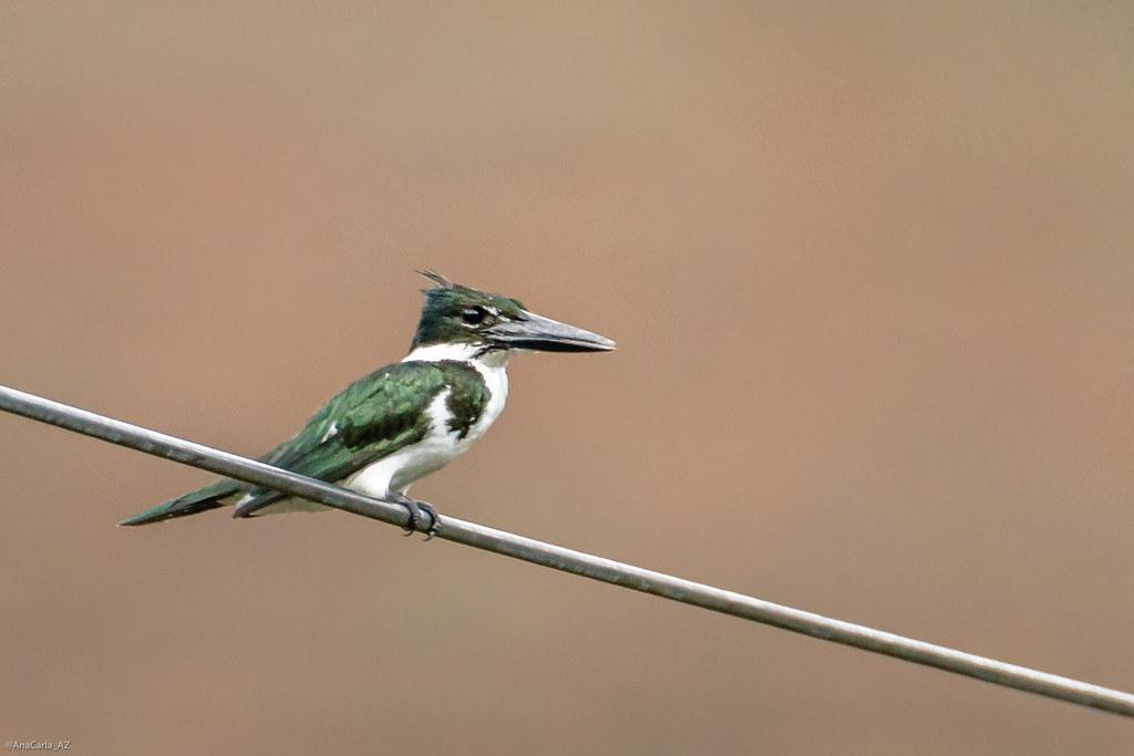 martim-pescador-verde (Chloroceryle amazona)