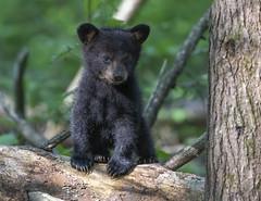 Curious Black Bear Cub - Cades Cove, TN