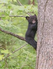 Shy Black Bear Cub-Cades Cove, TN