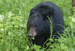 Black Bear Snack Time-Cades Cove, TN