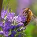 "<p><a href=""https://www.flickr.com/people/jl7561/"">jl7561</a> posted a photo:</p>  <p><a href=""https://www.flickr.com/photos/jl7561/48040834736/"" title=""Bee collecting Pollen""><img src=""https://live.staticflickr.com/65535/48040834736_71c351d6a8_m.jpg"" width=""240"" height=""192"" alt=""Bee collecting Pollen"" /></a></p>  <p>Dallas Zoo</p>"