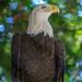 "<p><a href=""https://www.flickr.com/people/jl7561/"">jl7561</a> posted a photo:</p>  <p><a href=""https://www.flickr.com/photos/jl7561/48040840756/"" title=""Bald Eagle""><img src=""https://live.staticflickr.com/65535/48040840756_5d9cd10213_m.jpg"" width=""160"" height=""240"" alt=""Bald Eagle"" /></a></p>  <p>Dallas Zoo</p>"