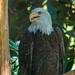 "<p><a href=""https://www.flickr.com/people/jl7561/"">jl7561</a> posted a photo:</p>  <p><a href=""https://www.flickr.com/photos/jl7561/48040841896/"" title=""Bald Eagle""><img src=""https://live.staticflickr.com/65535/48040841896_363a99949d_m.jpg"" width=""160"" height=""240"" alt=""Bald Eagle"" /></a></p>  <p>Dallas Zoo</p>"