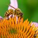 "<p><a href=""https://www.flickr.com/people/jl7561/"">jl7561</a> posted a photo:</p>  <p><a href=""https://www.flickr.com/photos/jl7561/48040842001/"" title=""Bee collecting Pollen""><img src=""https://live.staticflickr.com/65535/48040842001_52477d0c14_m.jpg"" width=""240"" height=""160"" alt=""Bee collecting Pollen"" /></a></p>  <p>Dallas Zoo</p>"