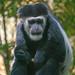"<p><a href=""https://www.flickr.com/people/jl7561/"">jl7561</a> posted a photo:</p>  <p><a href=""https://www.flickr.com/photos/jl7561/48040876583/"" title=""Colobus Monkey""><img src=""https://live.staticflickr.com/65535/48040876583_e110a6c523_m.jpg"" width=""160"" height=""240"" alt=""Colobus Monkey"" /></a></p>  <p>Dallas Zoo</p>"