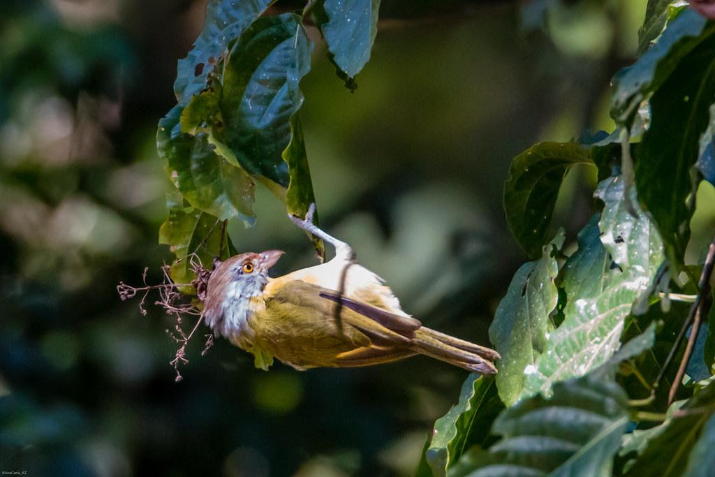 pitiguari (Cyclarhis gujanensis)