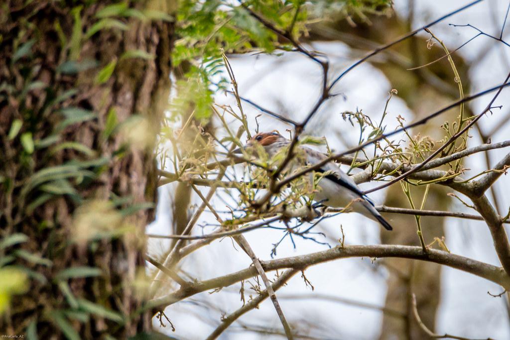 anambé-branco-de-bochecha-parda (Tityra inquisitor)