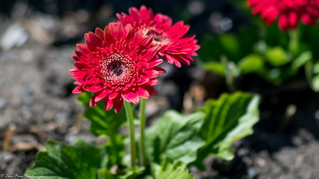 A red gerbera or red daisy