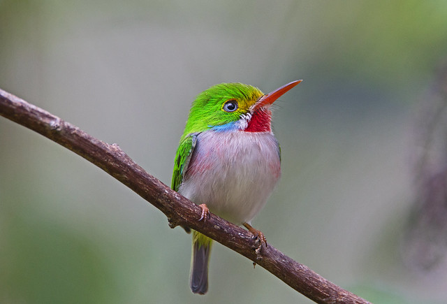 Cuban tody (Todus multicolor) - Holguín Province, Cuba - Feb 2019